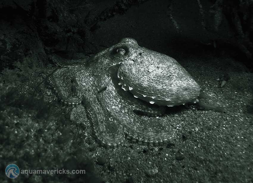 Night dive creatures octopus